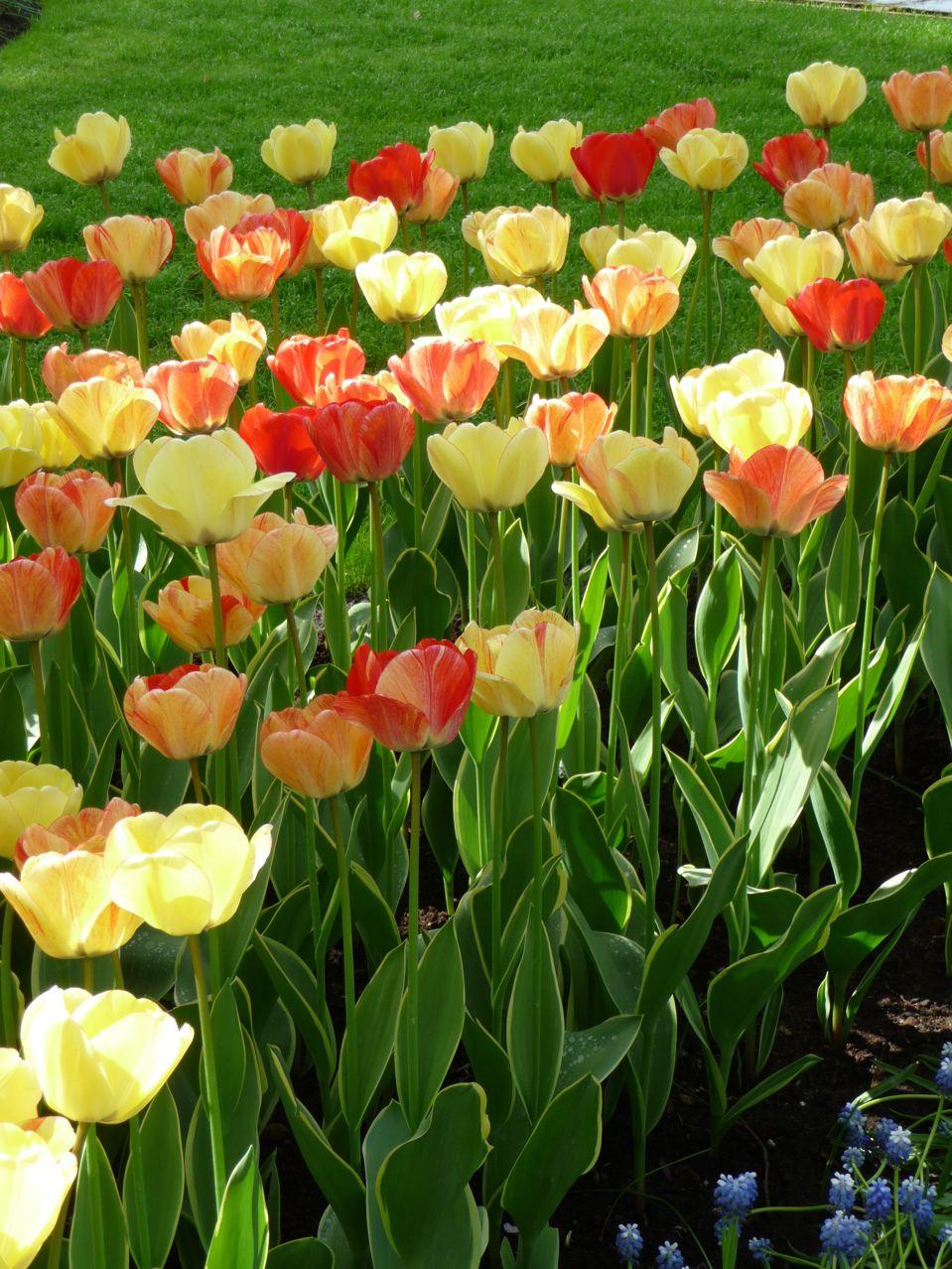 comment planter des tulipes en pot maison design. Black Bedroom Furniture Sets. Home Design Ideas